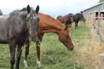 Datara ~ Appaloosa, Percheron, Quarterhorse
