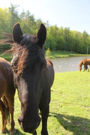 Pepper ~ Morgan/Quarterhorse