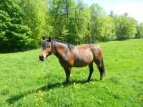 Elessar the horse