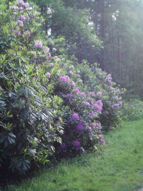 bracknell-forest-five-rhododendrons.jpg
