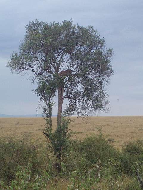 leopard-feeding-on-wildebeest-in-tree-masai-mara-kenya.jpg