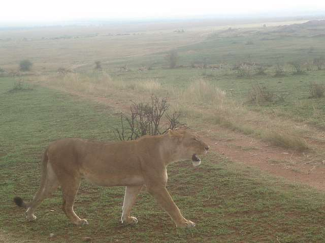 lioness-masai-mara-kenya.jpg