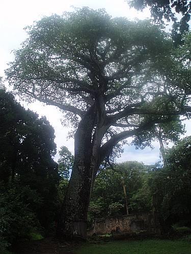 baobab-tree-gede-kenya-by-roadsofstone