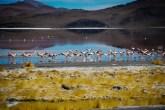 χιλιάδες flamingos στη κόκκινη λίμνη