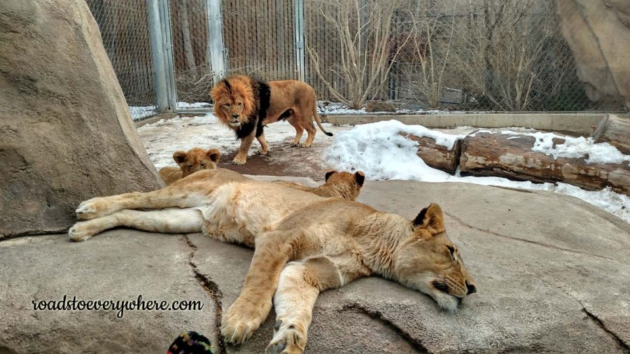 Baby lions at the Denver Zoo.
