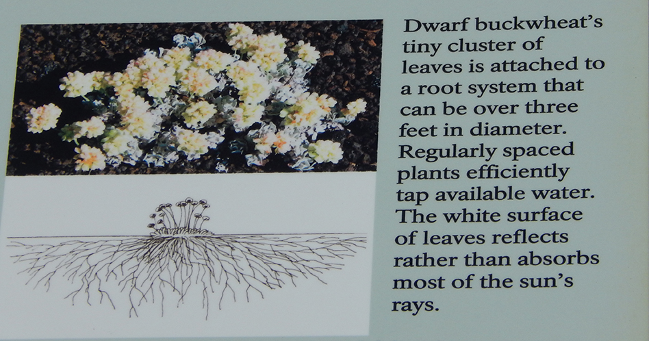 Dwarf buckwheat at Craters of the Moon