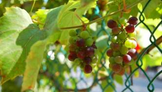 Toronto likes our Niagara grapes