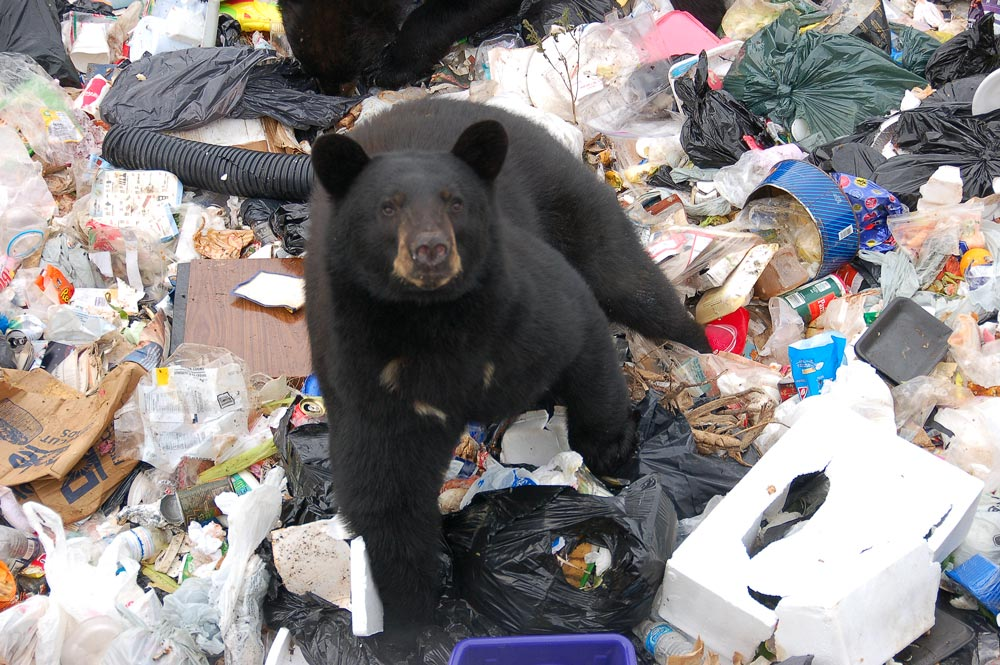 black bear at the dump