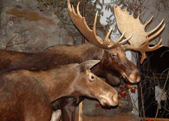 Algonquin-Provincial-Park-Visitor-Centre-moose