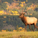 Bull elk, Jasper National Park, Canada