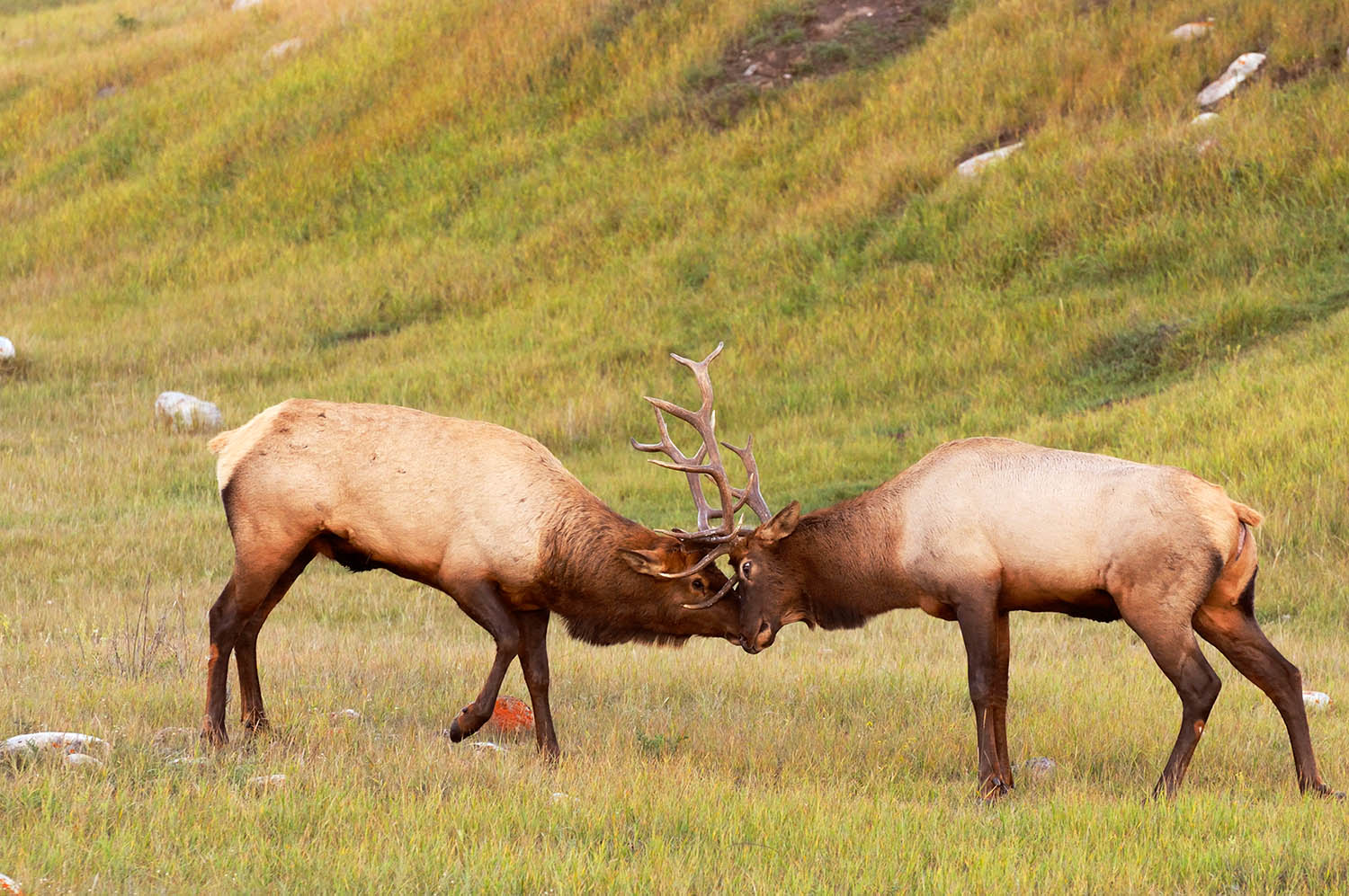 Bull elk lock horns in Jasper National Park, Canada
