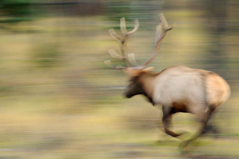 bull elk charging in Jasper National Park, Canada
