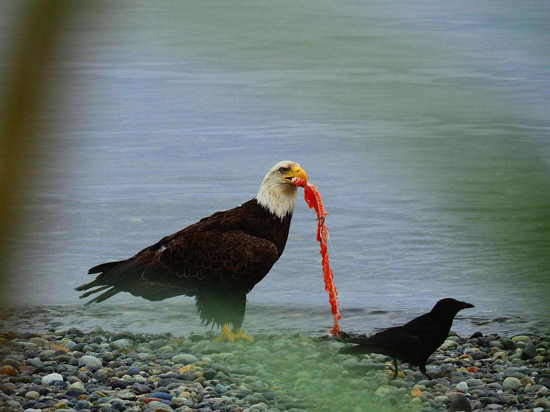 Haida Gwaii Watchmen eagle