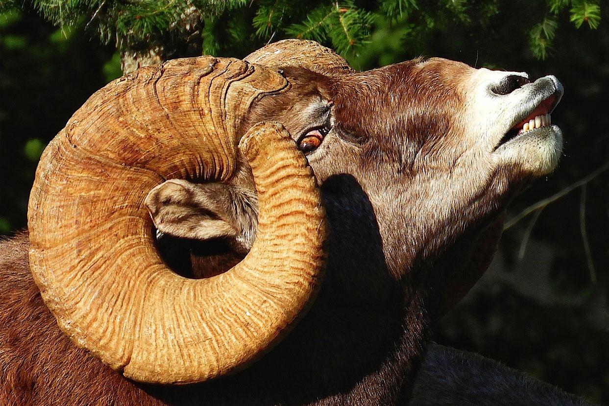 bighorn sheep ram horns