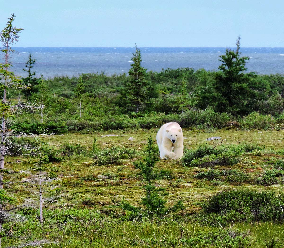 Churchill Northern Studies Centre - Polar Bear