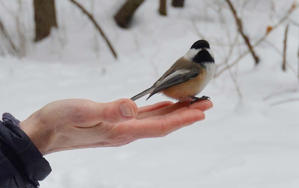 Arrowhead Provincial Park Black-capped chickadee bird-in-hand