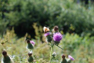 Ein Schmetterling auf einer Distel in der Ravennaschlucht.