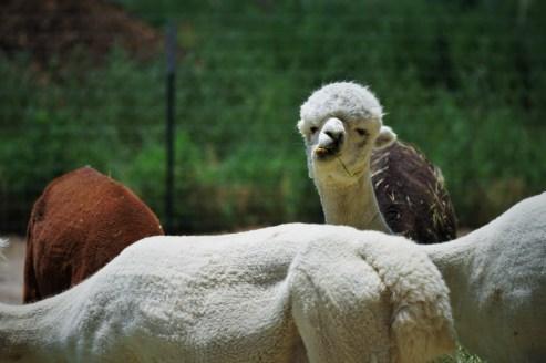 alpaca showing his teeth