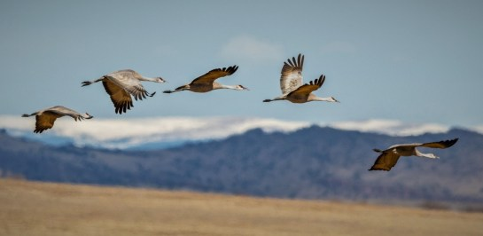 flying Sandhill Cranes with mountains in the background