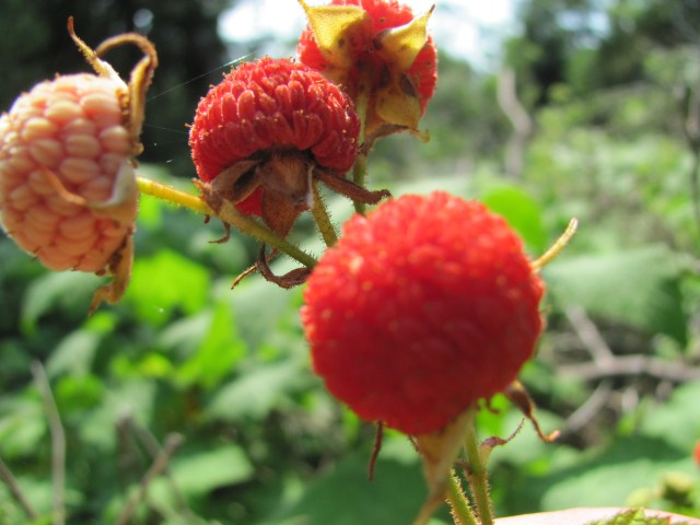 Thimbleberries on Hike to Lookout Louise at Isle Royale National Park