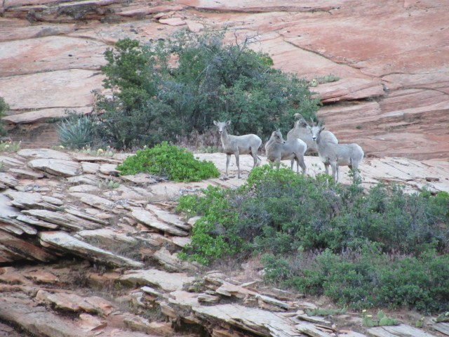 Mountain Goats in Zion National Park