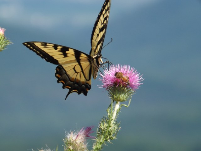 Shenandoah National Park: Butterflies of Shenandoah National Park