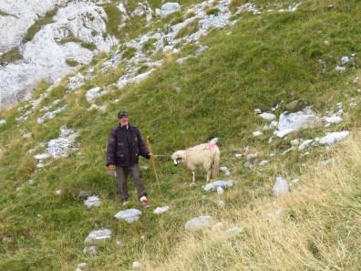 Shepherd and sick sheep
