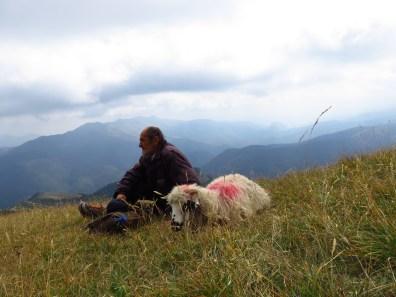 Shepherd and sick sheep, resting