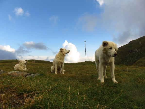 Three sad sheepdogs - siblings (look at their ears!) - they weren't being fed properly.