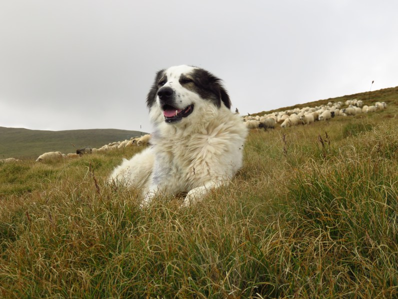 A friendly sheepdog in the Fagaras