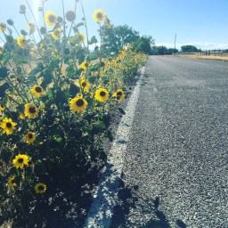 Along the road I run, beautiful sunflowers line the way.
