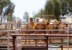 ayes rock camels 5