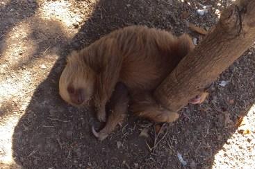 Sarita (Costa Rica Animal Rescue Centre)