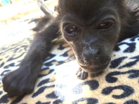 Feluco (Costa Rica Animal Rescue Centre)