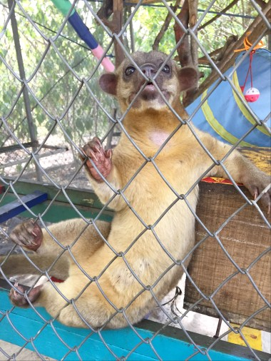 Daniel the Kinkajou (Costa Rica Animal Rescue Centre)