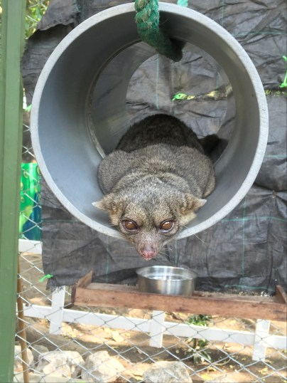 Itchy the Olingo (Costa Rica Animal Rescue Centre)