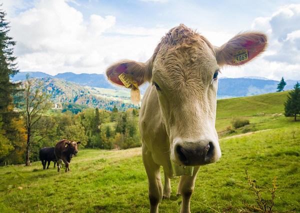 Oberstaufen Cows