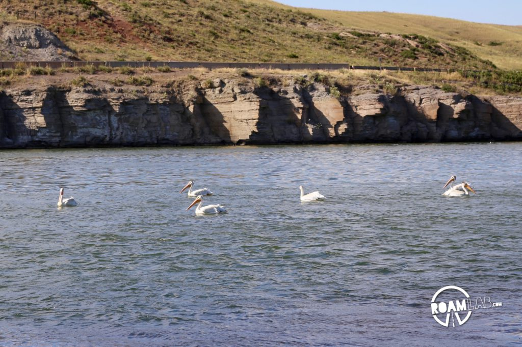 Pelicans chilling in the longest river in the US: the Missouri River.