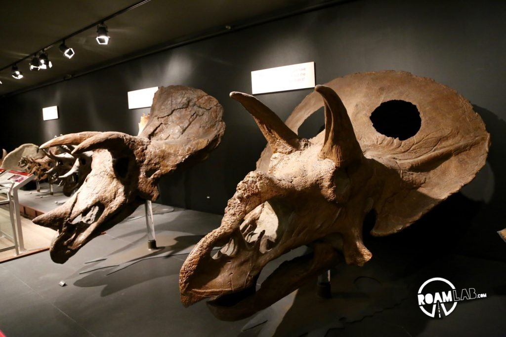 The museum also sports a collection of Triceratops skulls. Here you can compare an adolescent triceratops with the skull of a fully grown adult. Notice how holes develop in the mature triceratops.