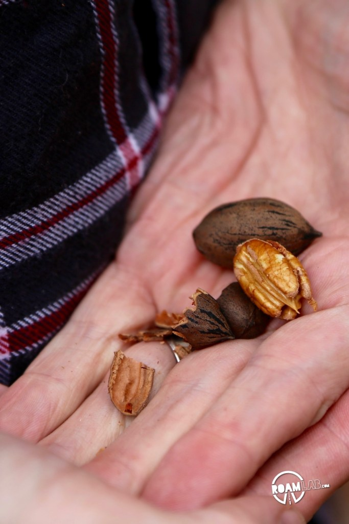 I had never had a fresh pecan before, but they were just lying on the ground for the taking. It was almost as if pecans grew on trees!