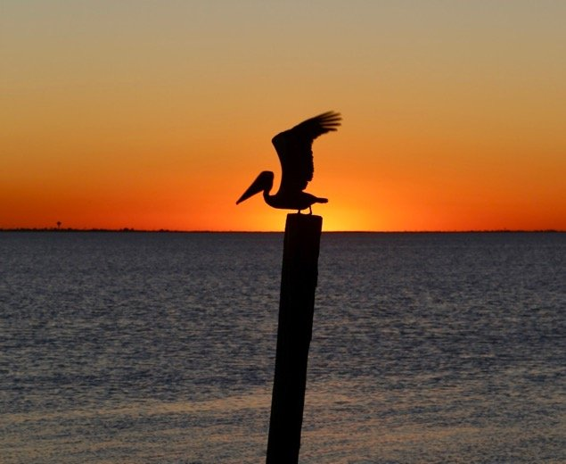 Pelican over South Padre Island, Texas