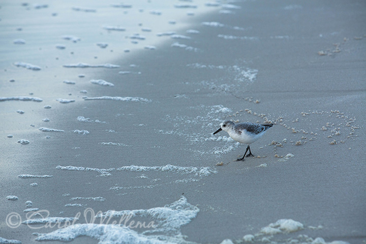Sanderling shore birds on the beach in Gulf Shores Alabama at sunrise