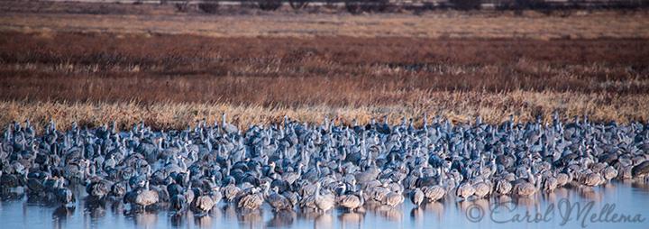 Many Sandhill Cranes Migrating In Arizona