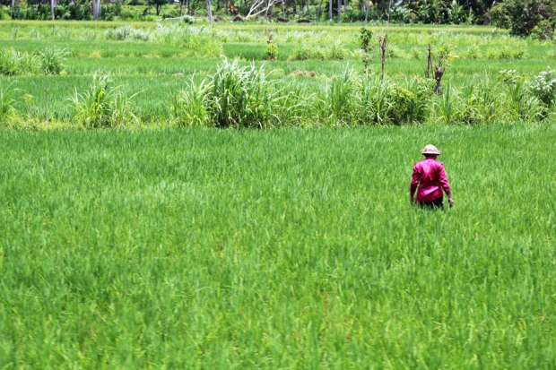 Localism-rice-field1