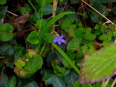 Common dog-violet