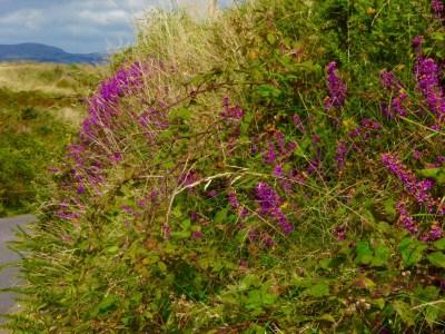 hedge heather