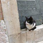 Kotor cats