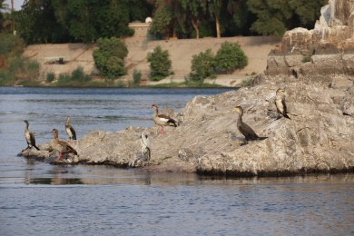 Aswan - River & Birds (4)