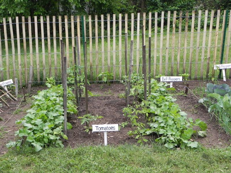 In the weeks before the tomatoes were ready to go in, its designated plot was home to watermelon radishes.