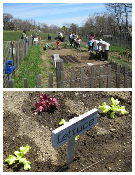 seed planting and lettuce seedlings